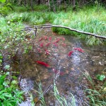sockeyes spawning in a tributary to Big Lake. USFWS/Katrina Mueller